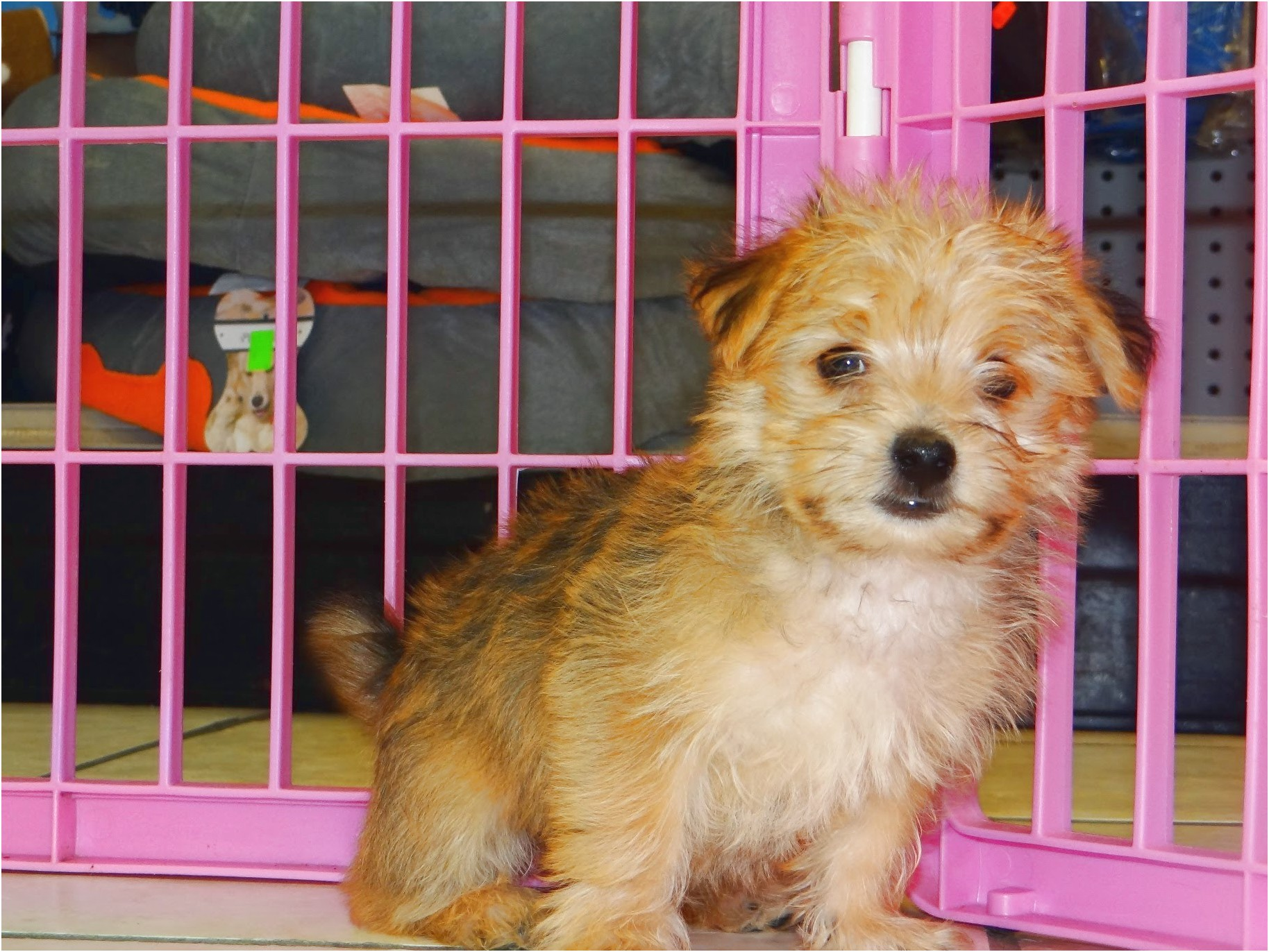 maltese puppies for sale yuma az