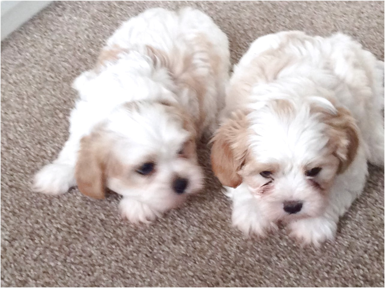maltese puppy for sale boston