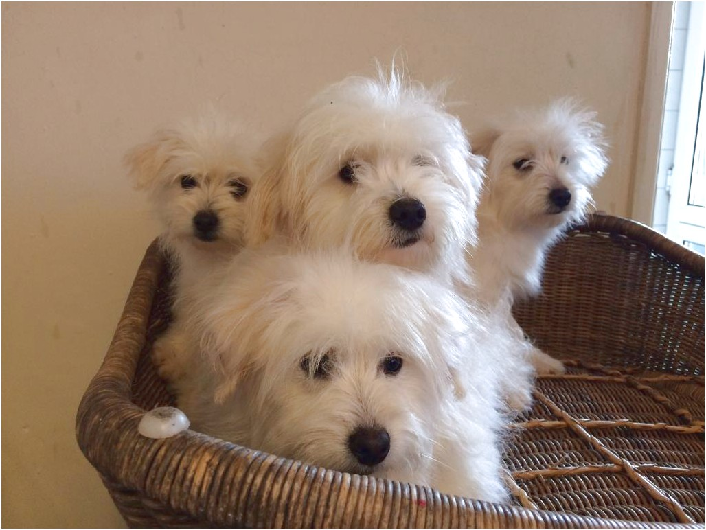 maltese puppy for sale bristol