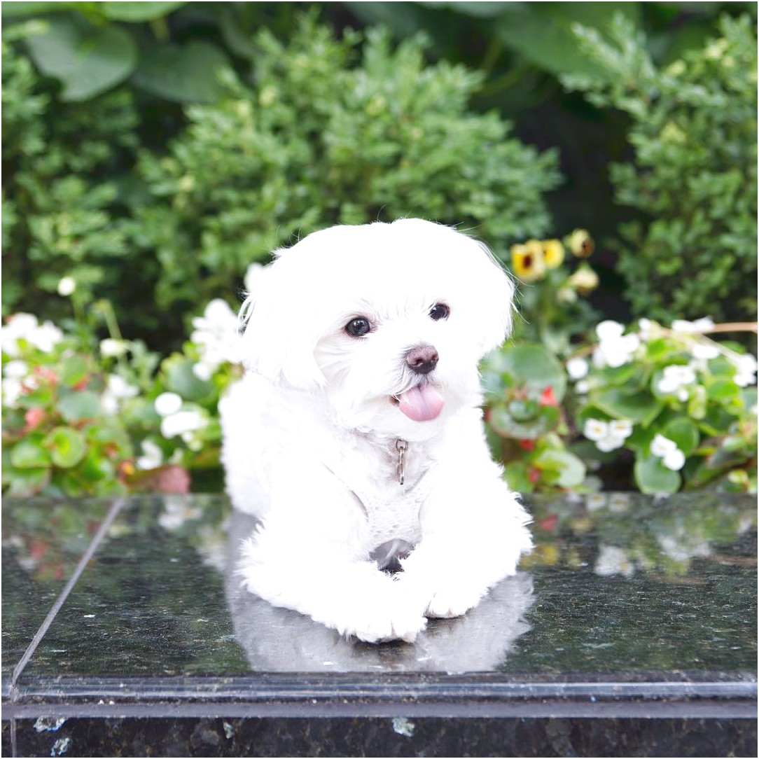 maltese puppy for sale by owner