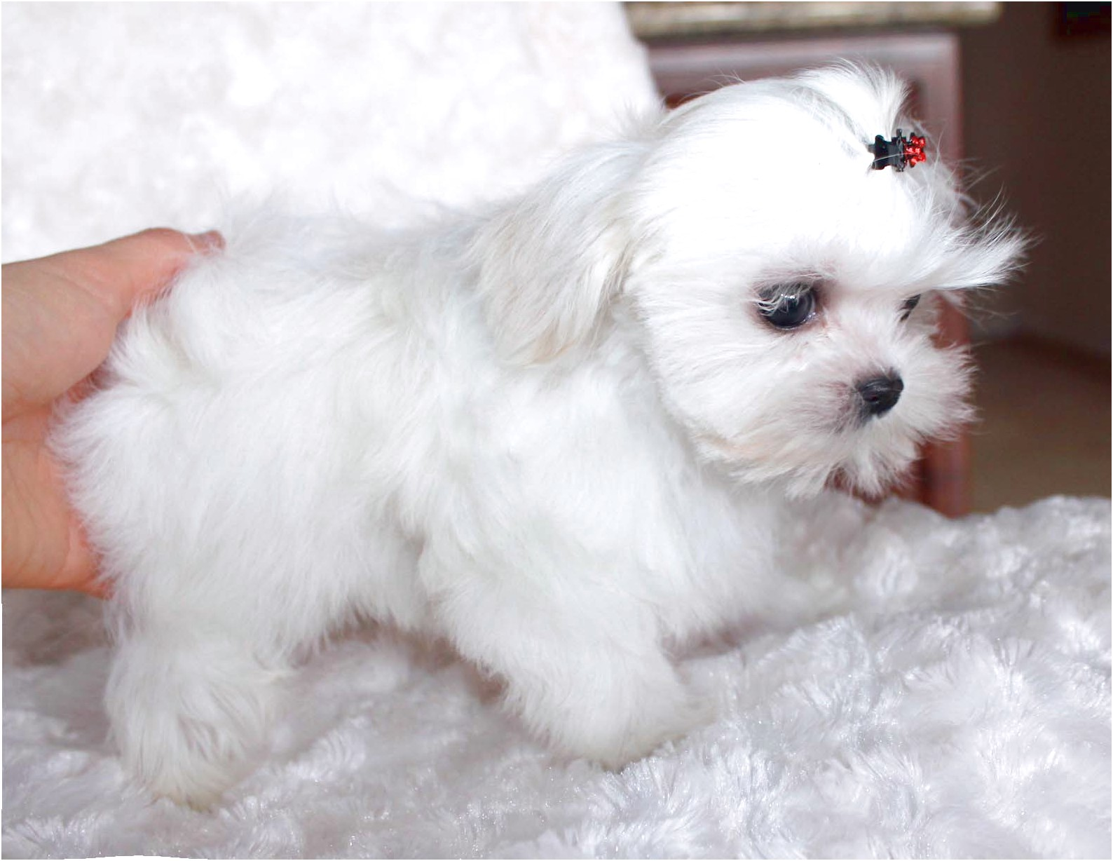 maltese puppy for sale california