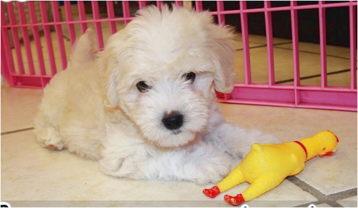maltese puppy for sale charlotte nc