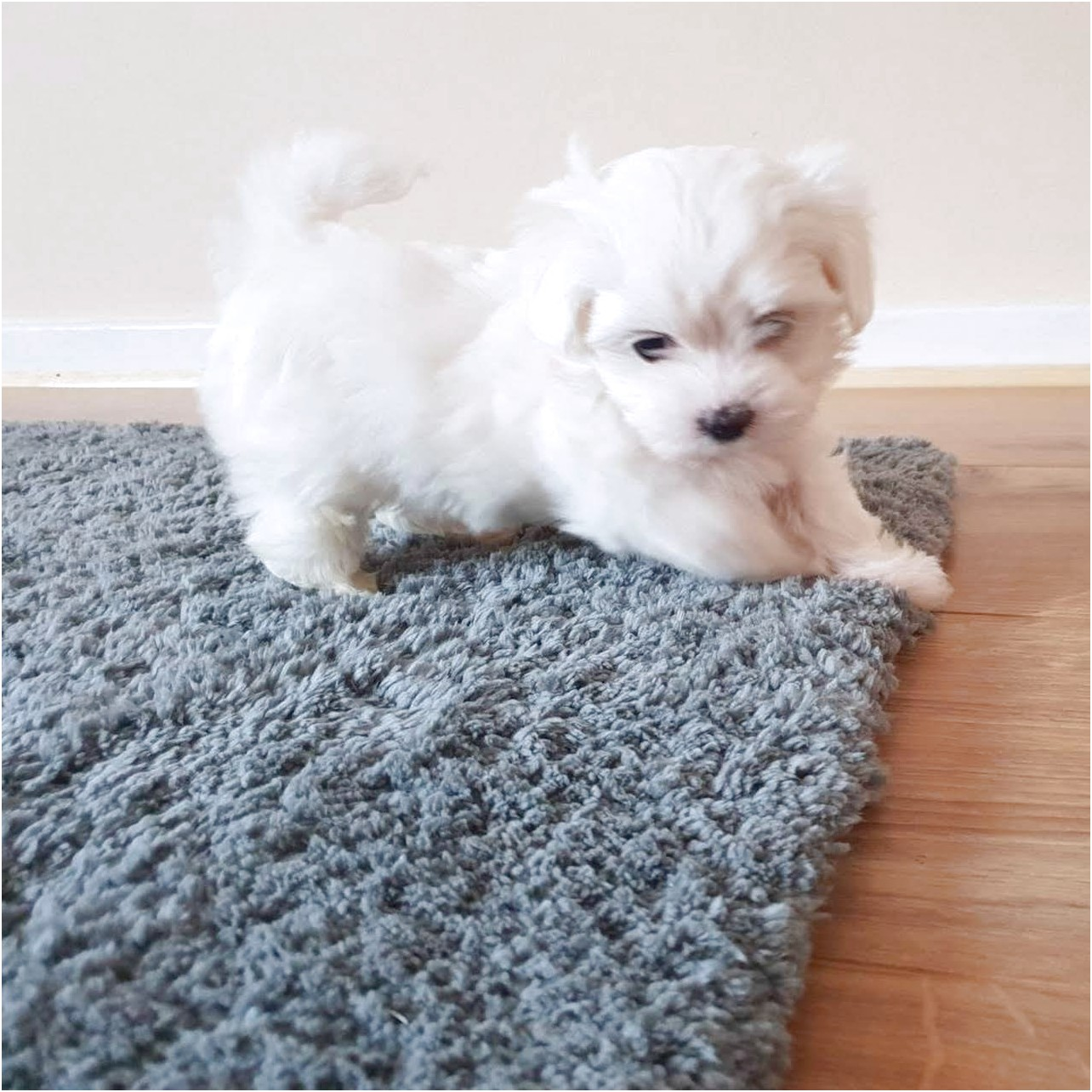 maltese puppy for sale cheap