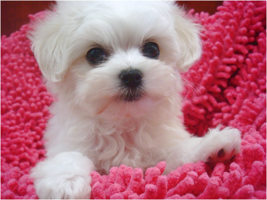 maltese puppy for sale eastbourne