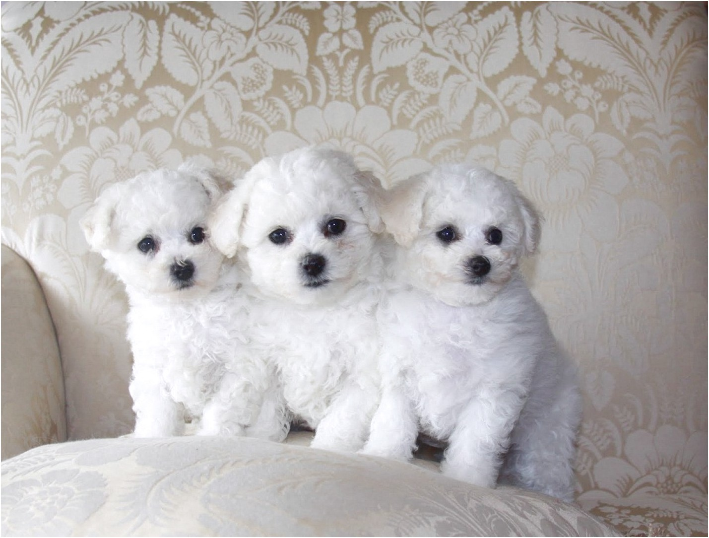 maltese puppy for sale edmonton
