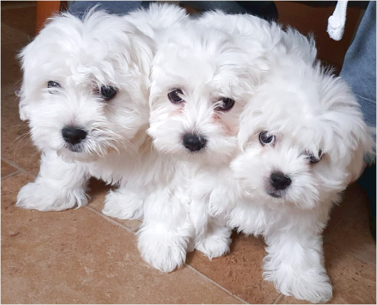 maltese puppy for sale essex