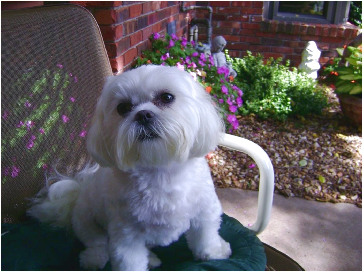 maltese puppy for sale fort worth