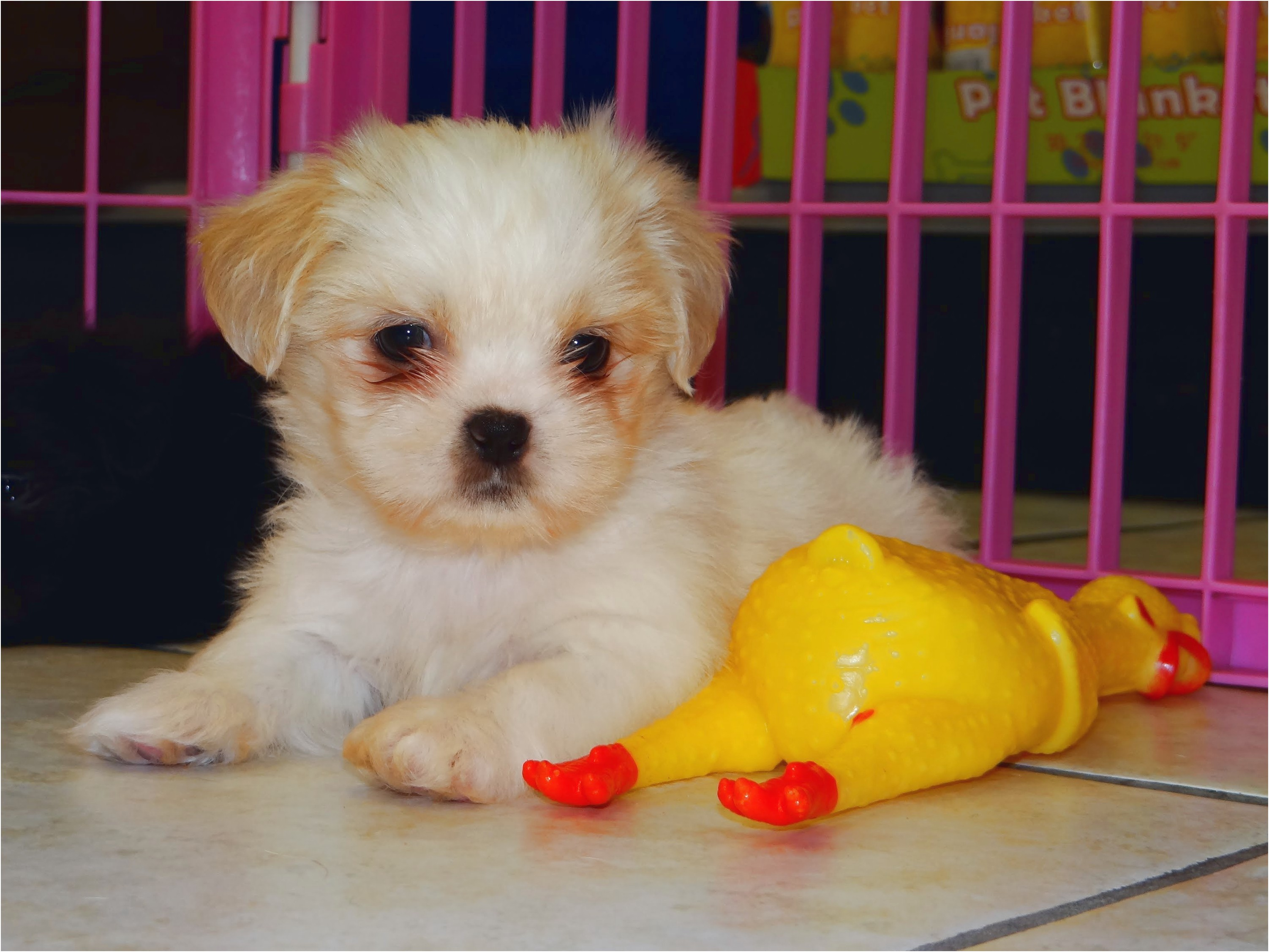 maltese puppy for sale fresno