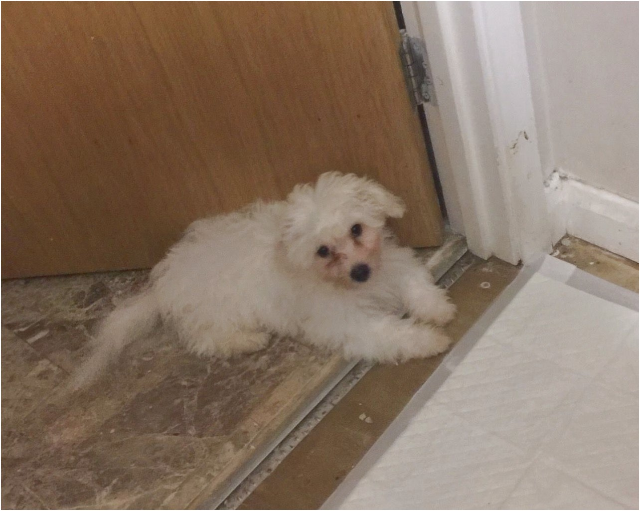 maltese puppy for sale hastings