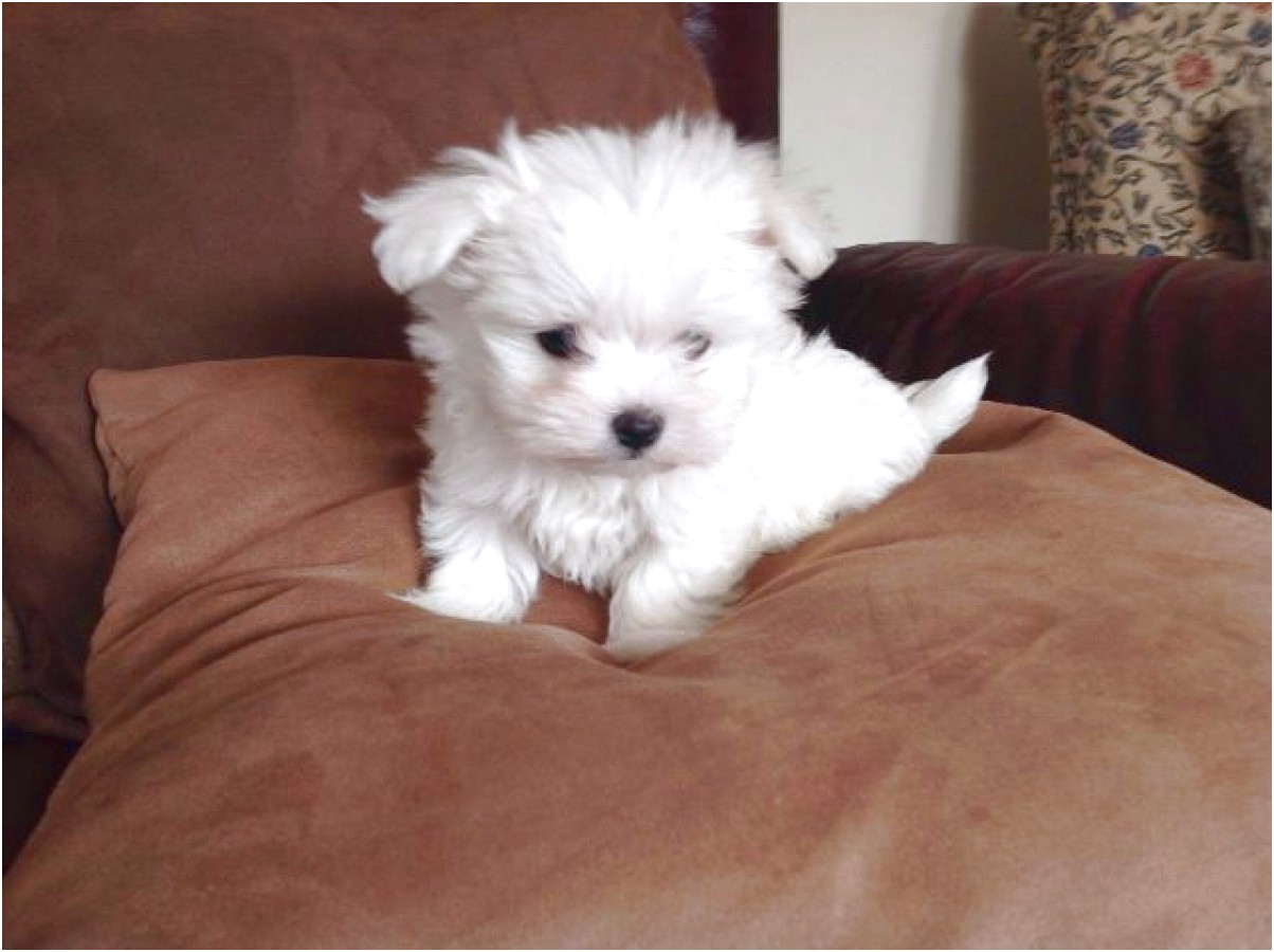 maltese puppy for sale hawaii