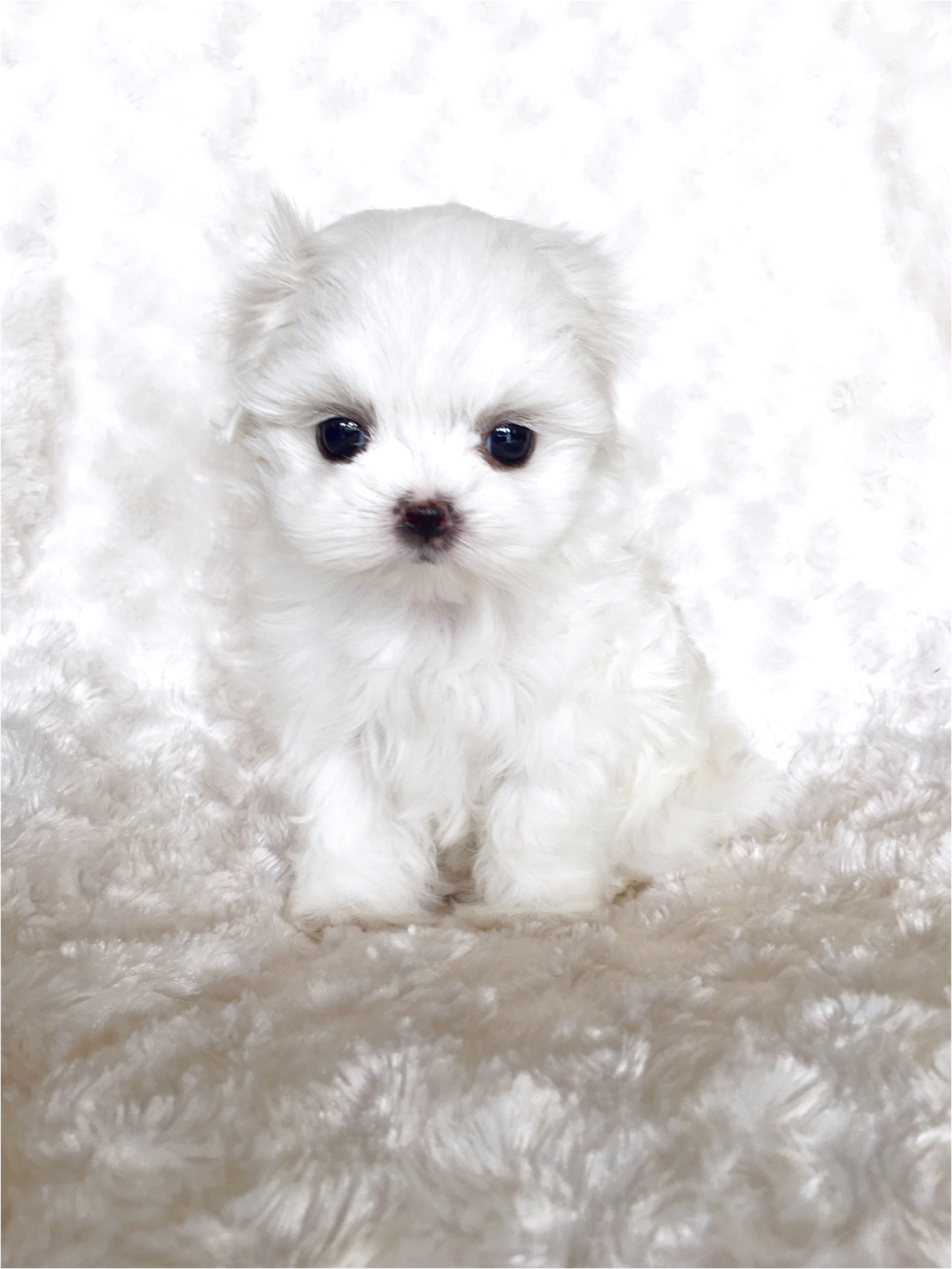 maltese puppy for sale in usa