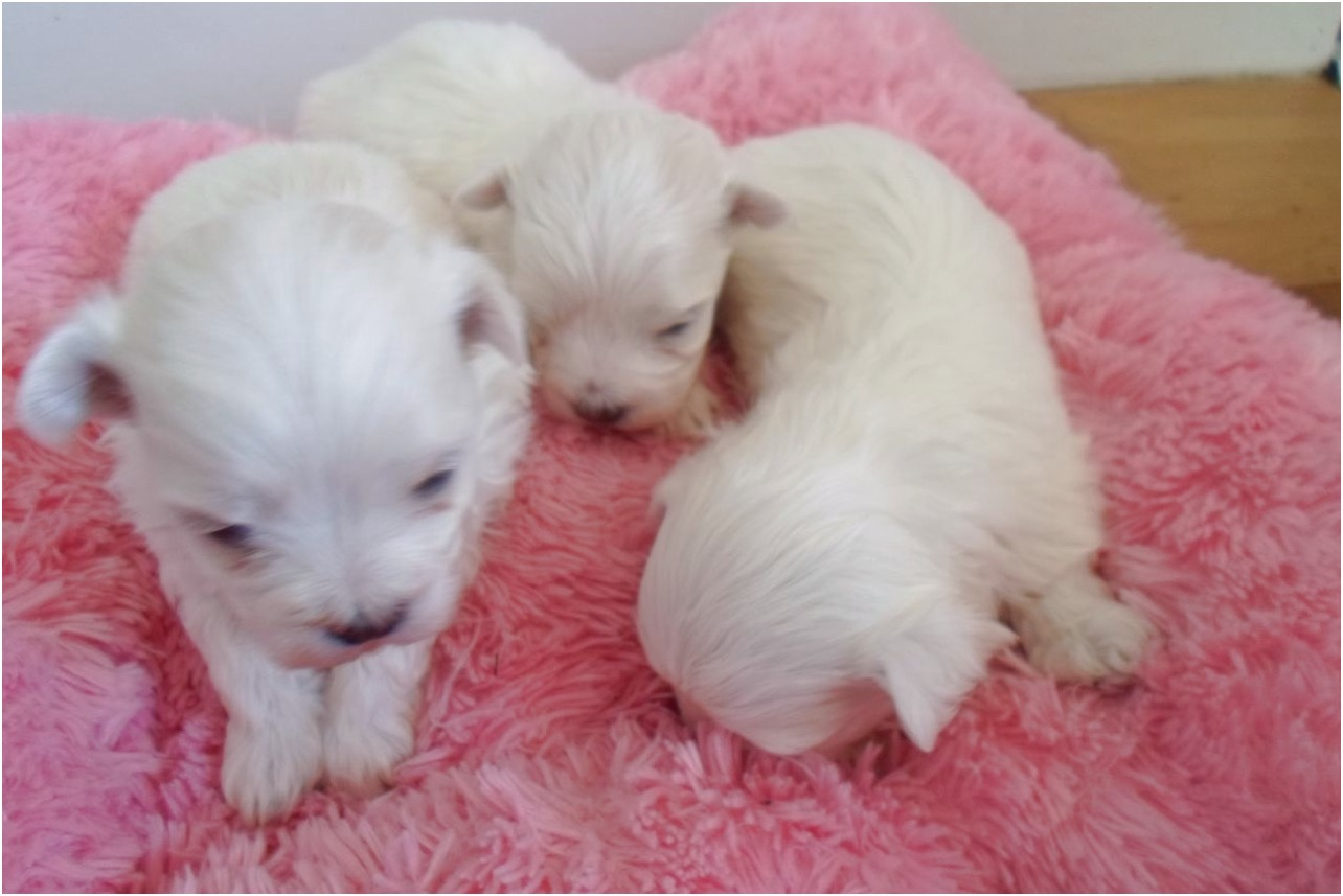 maltese puppy for sale jackson ms