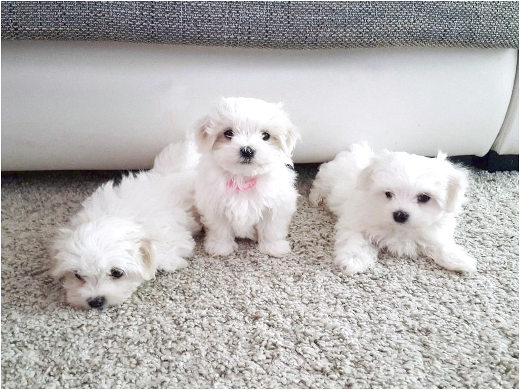 maltese puppy for sale kc