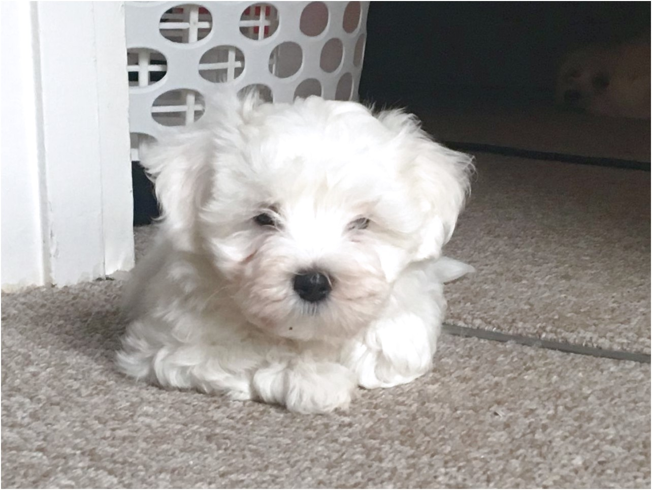 maltese puppy for sale kent
