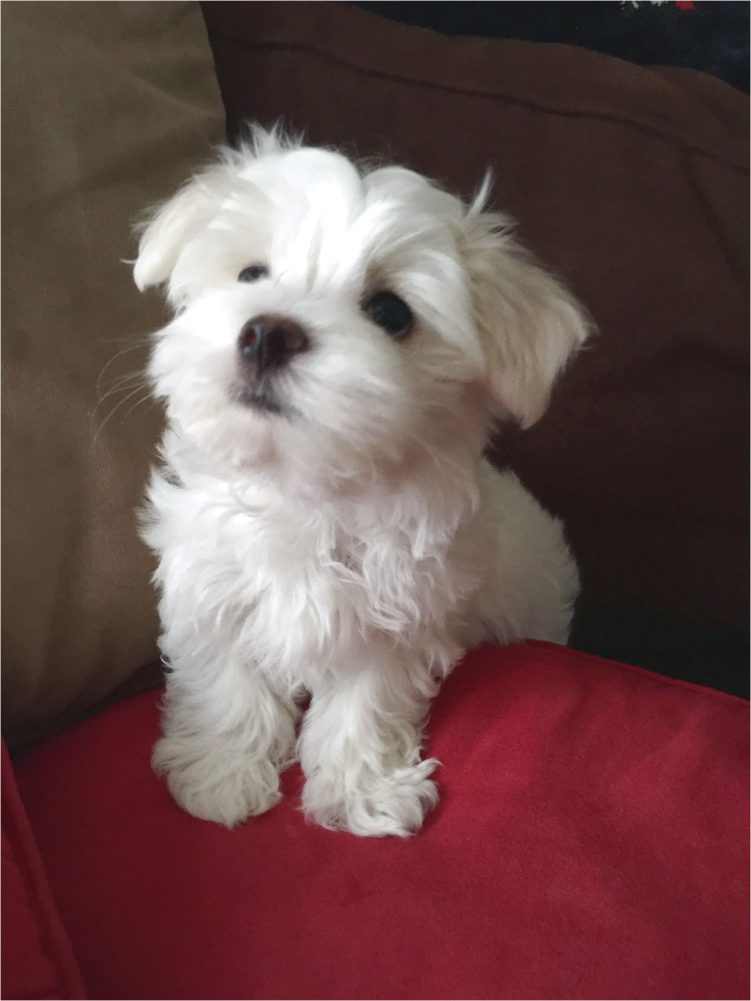 maltese puppy for sale kentucky