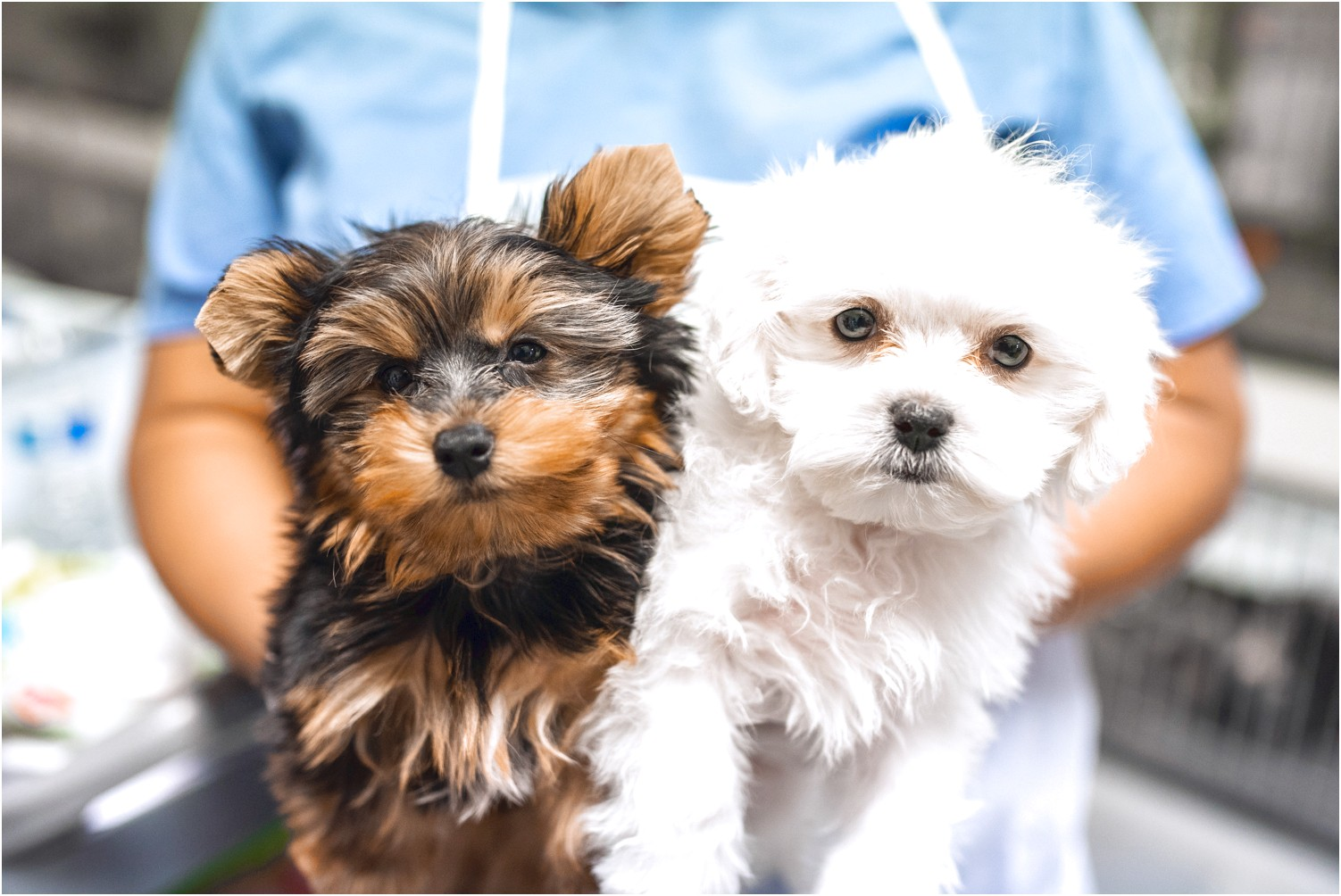 maltese puppy for sale las vegas