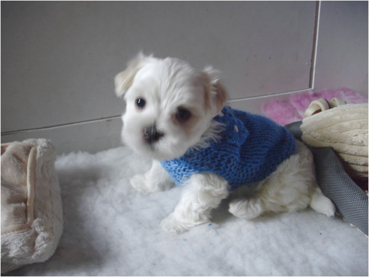 maltese puppy for sale leeds