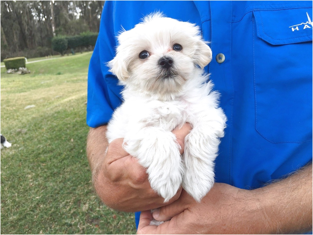 maltese puppy for sale leicester