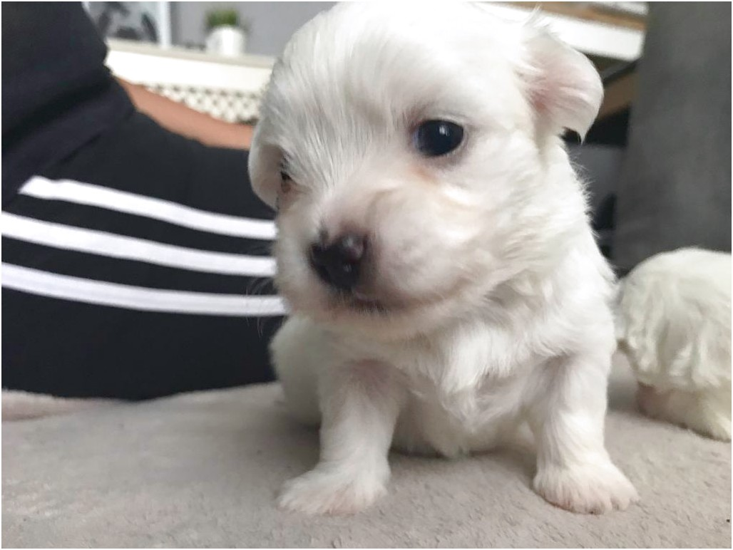 maltese puppy for sale london