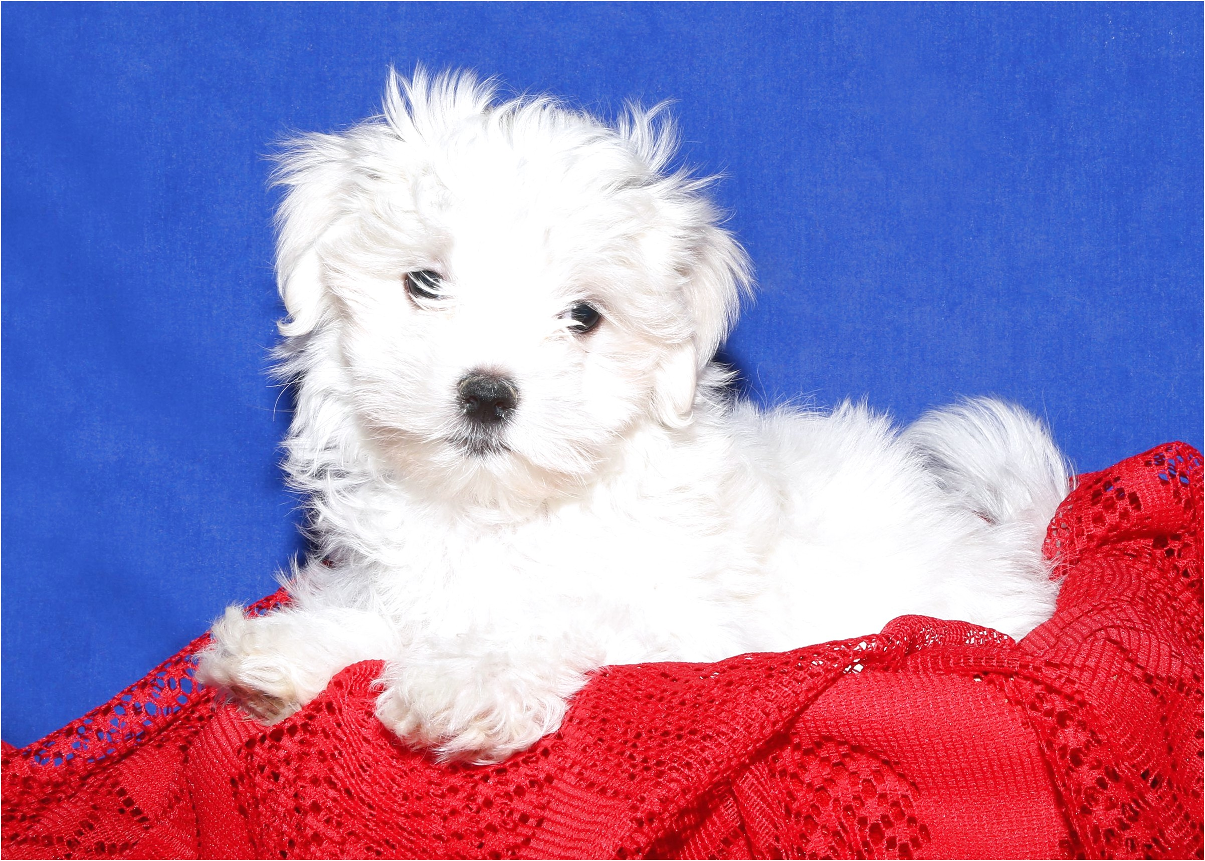 maltese puppy for sale long island