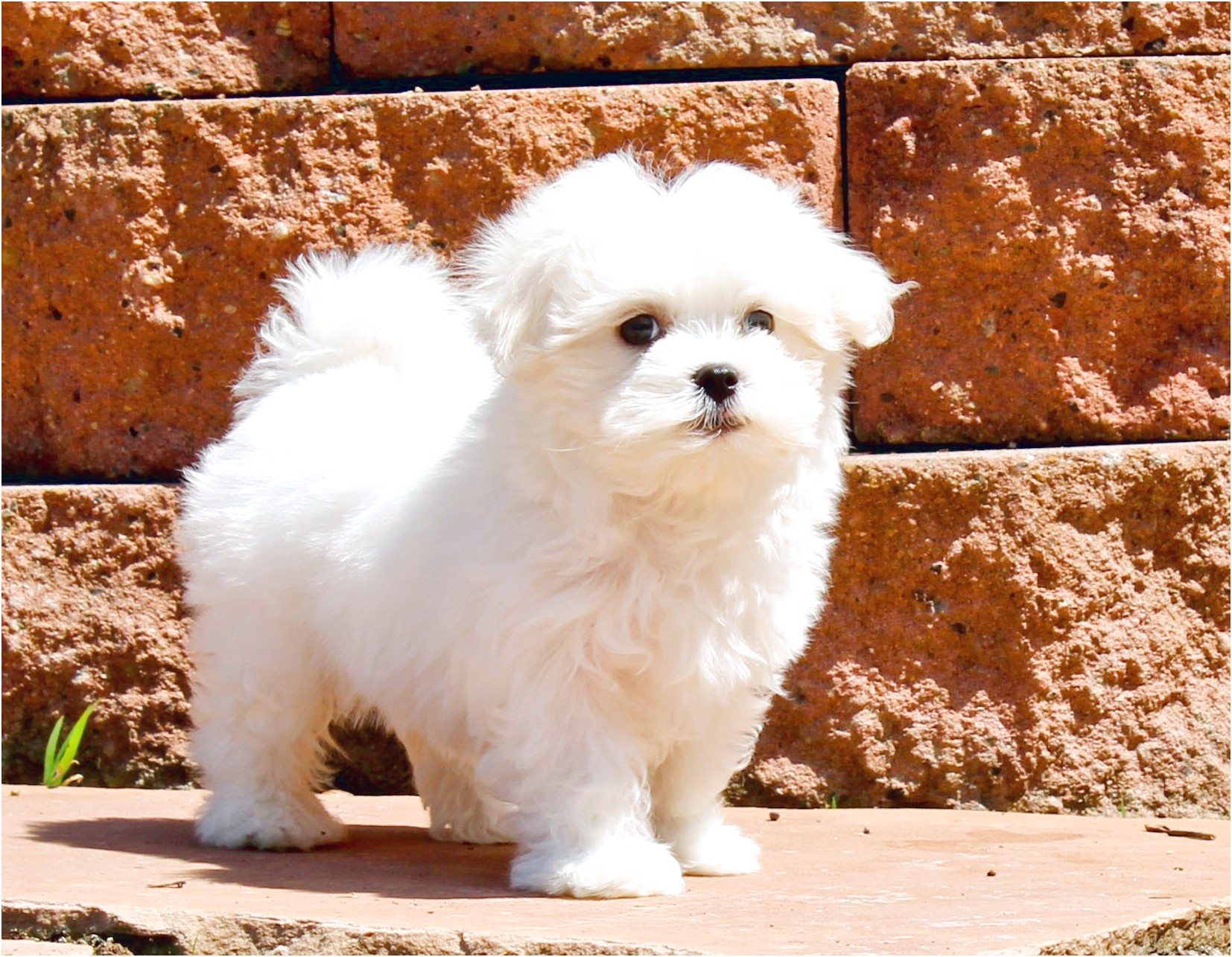 maltese puppy for sale los angeles