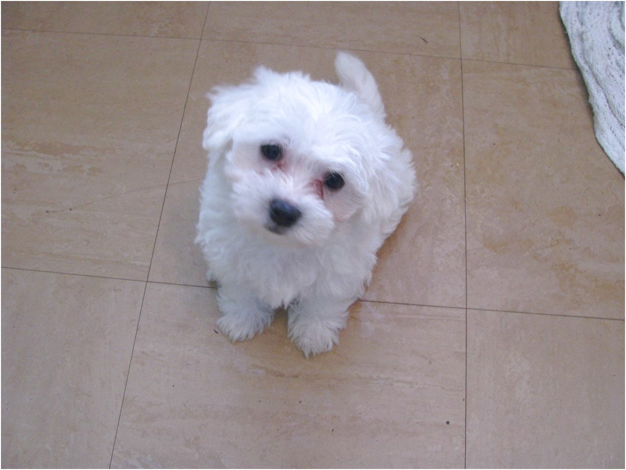 maltese puppy for sale manchester