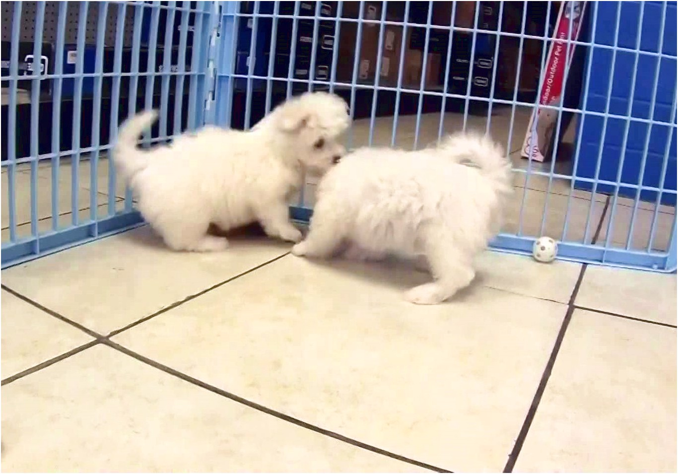 maltese puppy for sale mn