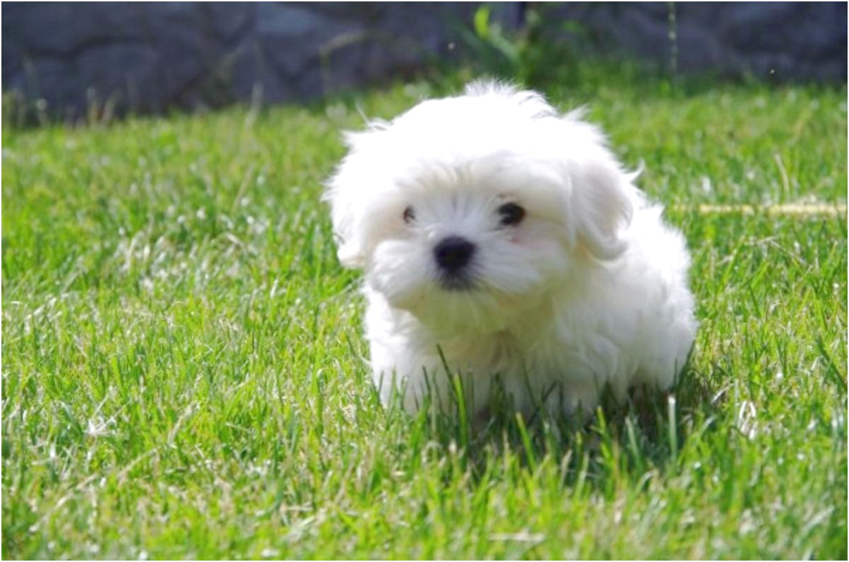 maltese puppy for sale new york