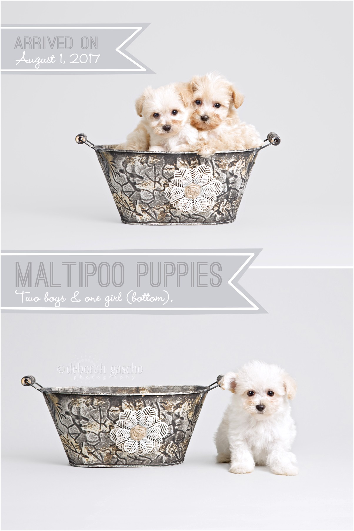 maltese puppy for sale ontario