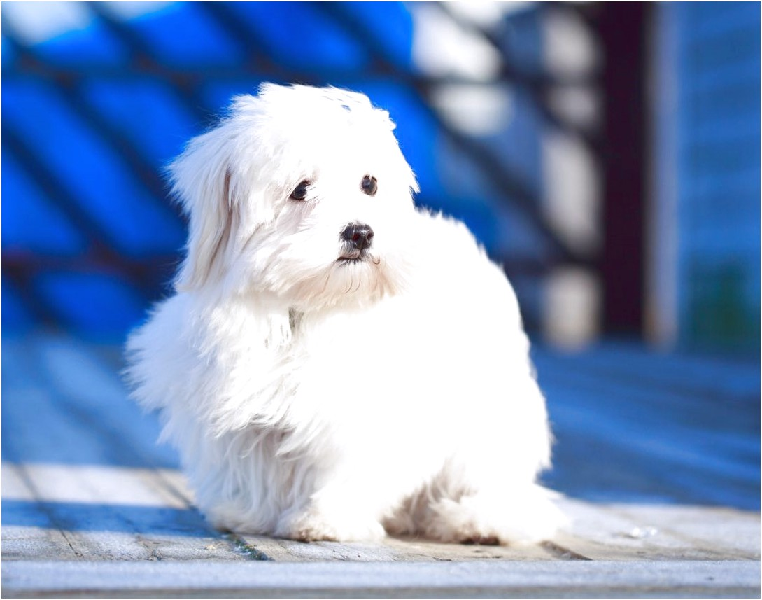 maltese puppy for sale pa