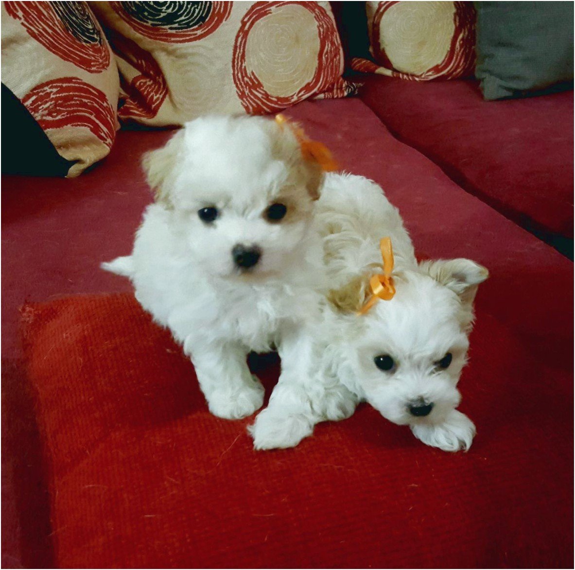 maltese puppy for sale pretoria
