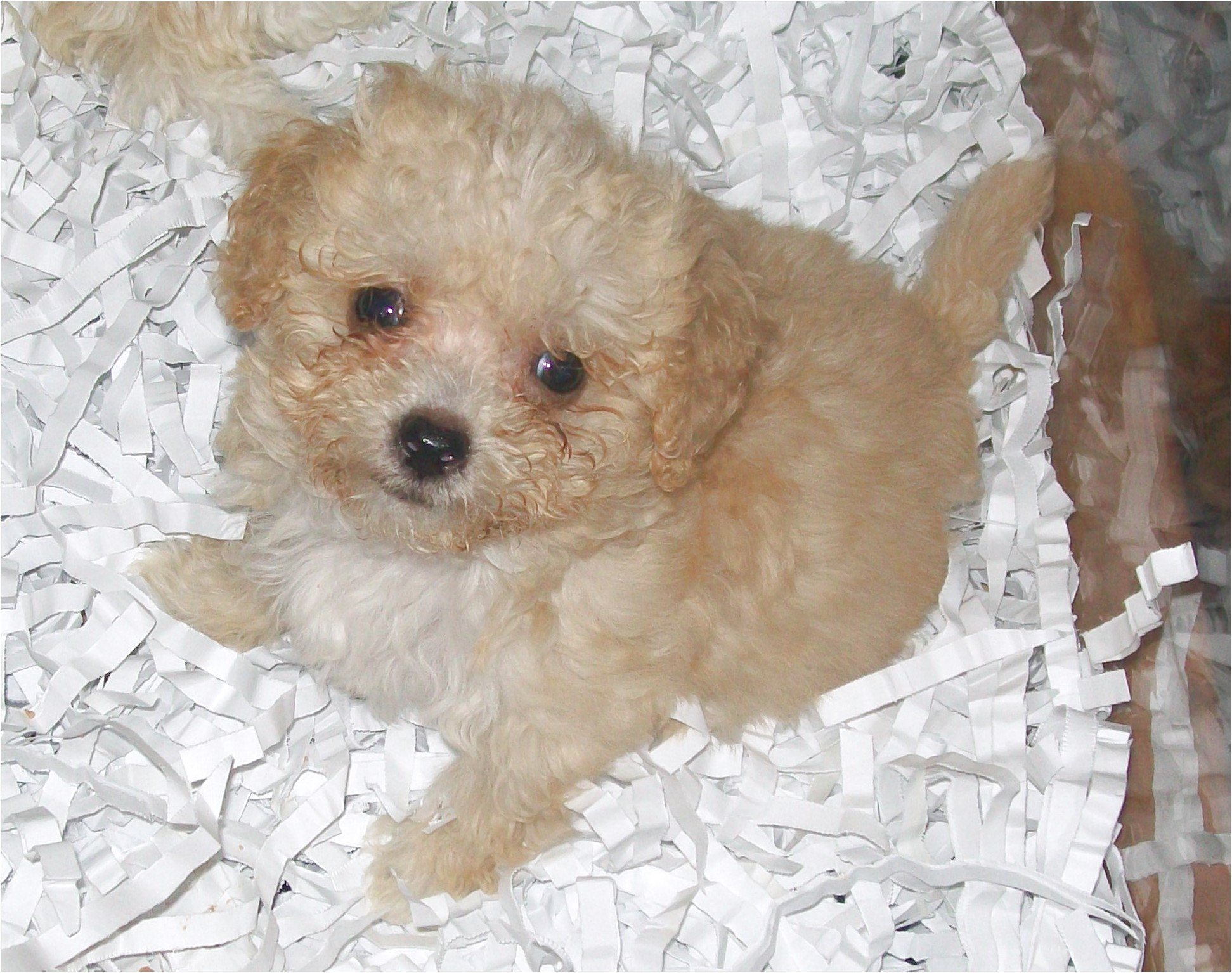 maltese puppy for sale qld