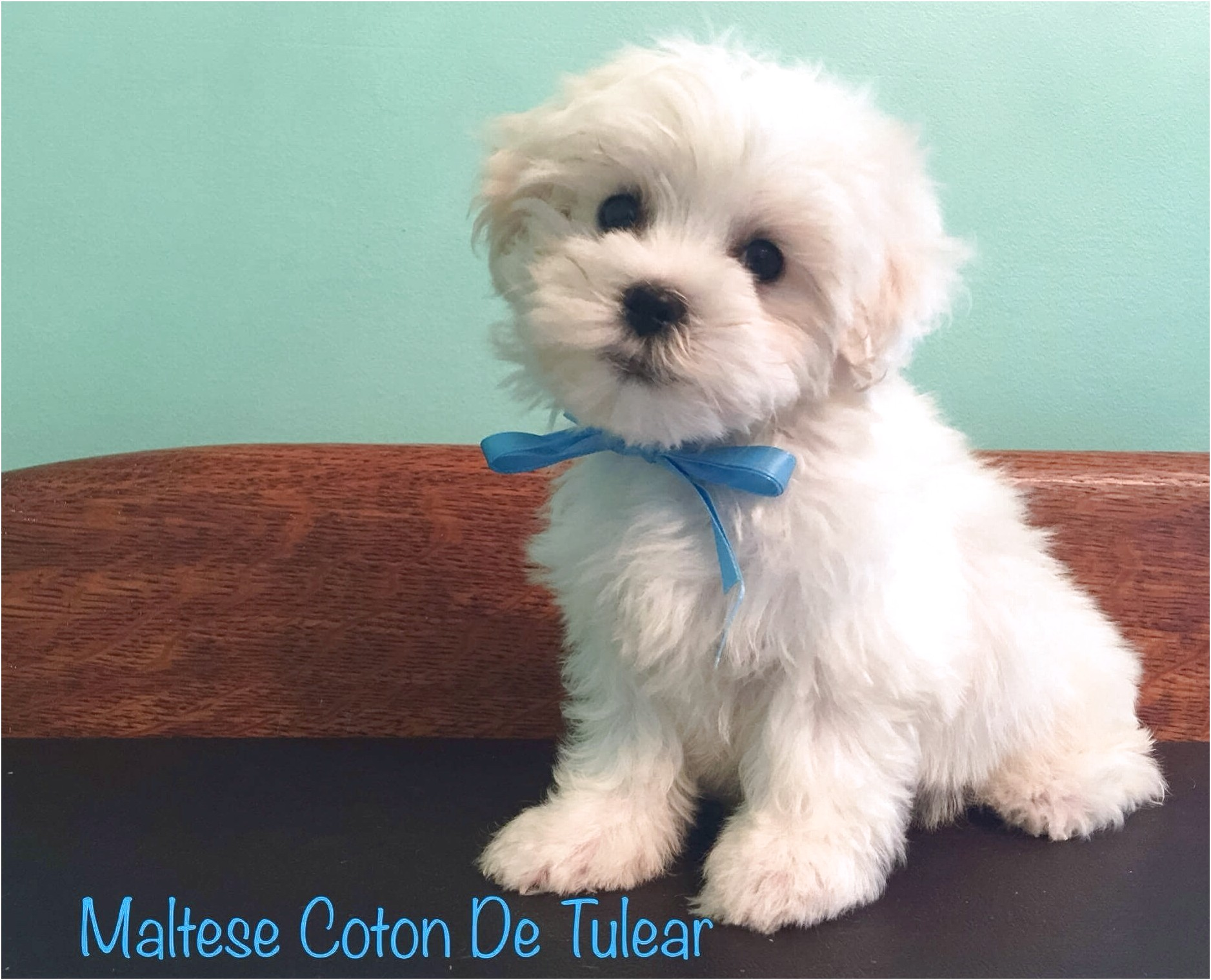 maltese puppy for sale rochester ny
