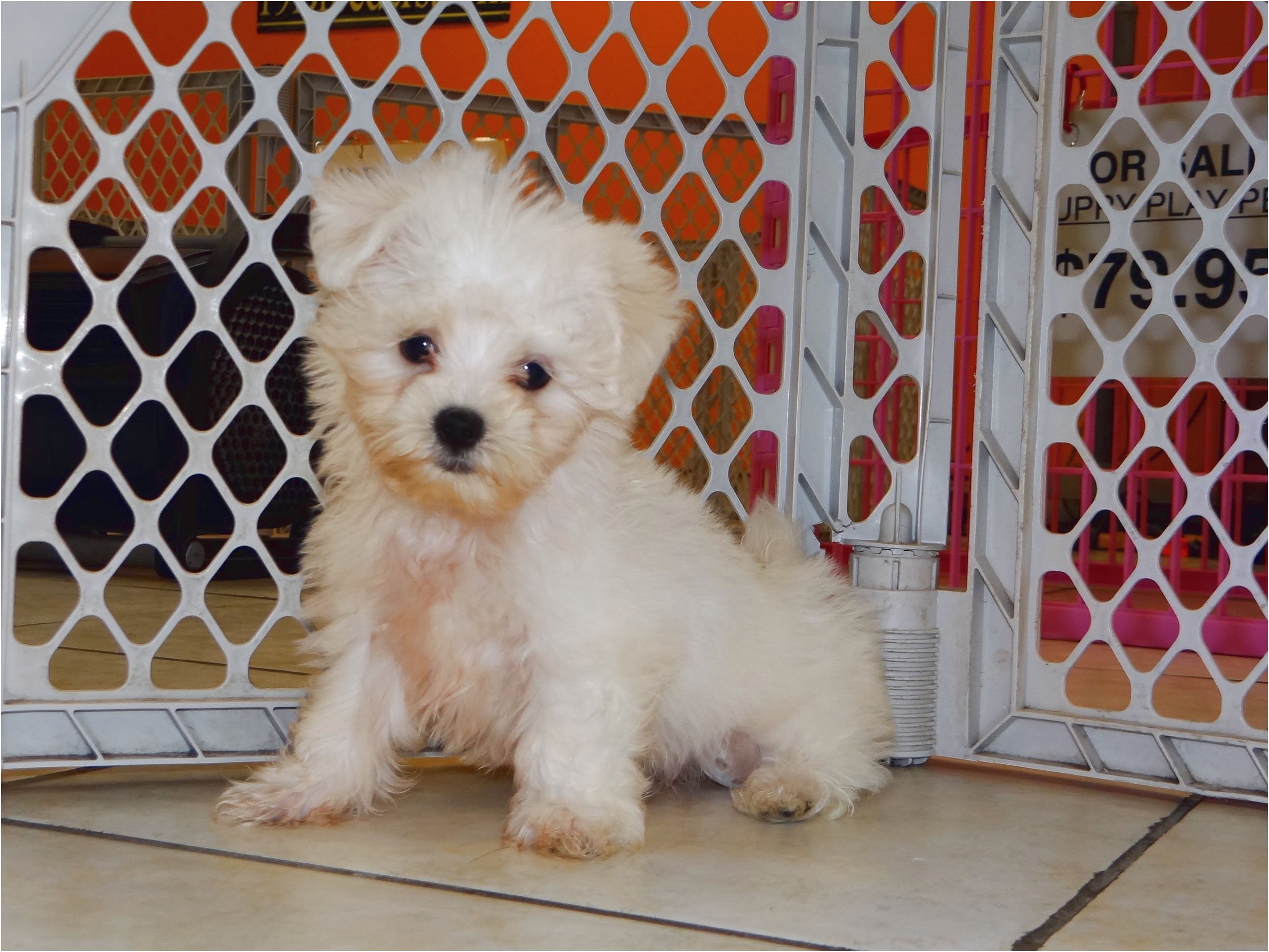 maltese puppy for sale sacramento