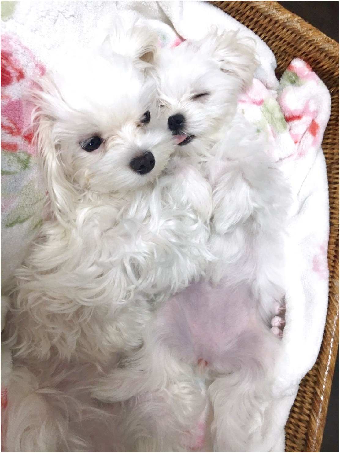 maltese puppy for sale uk