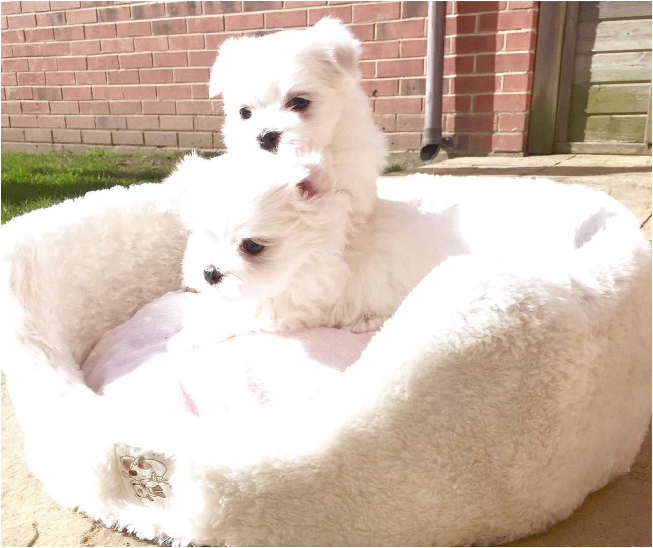 maltese puppy for sale vancouver