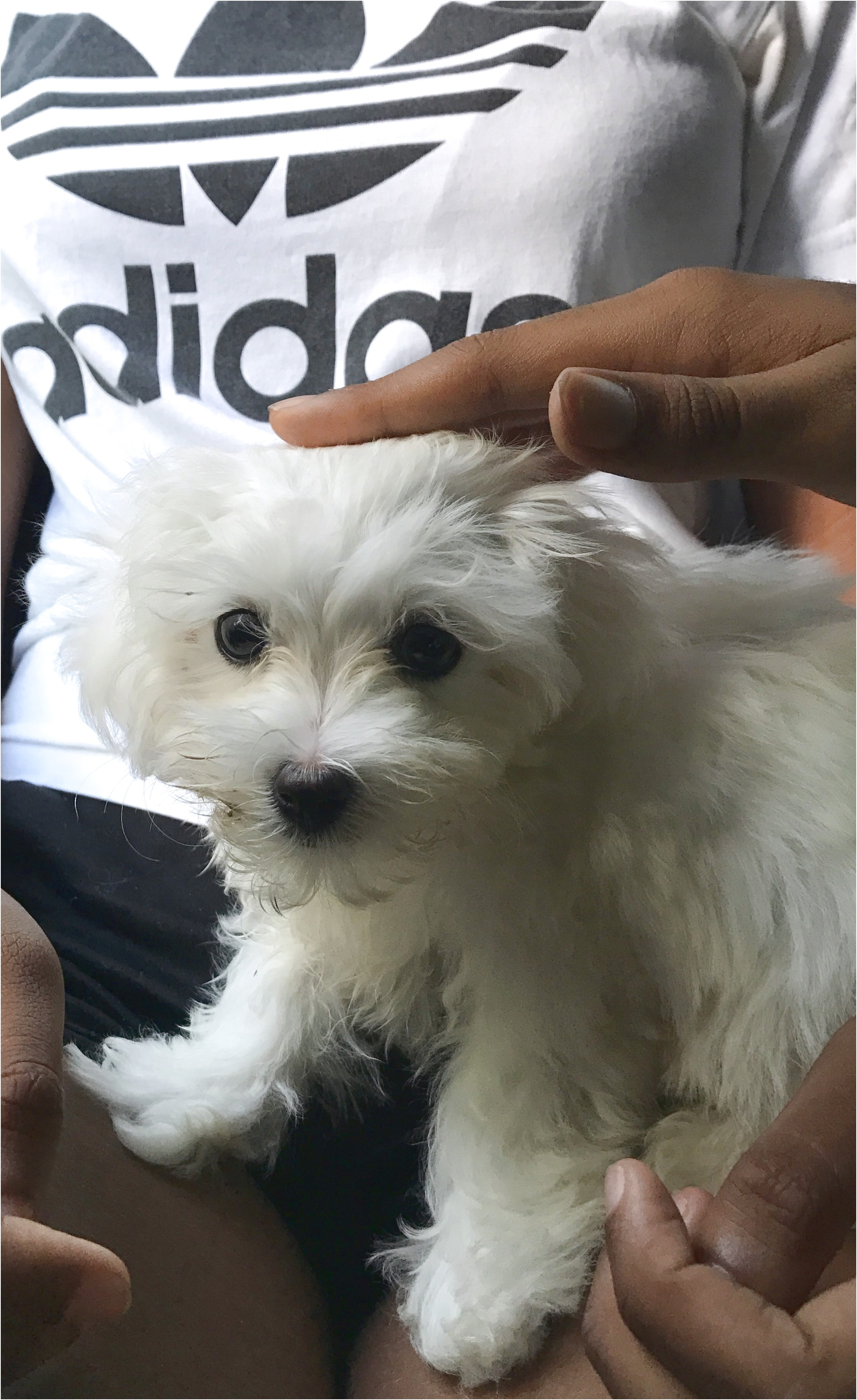 maltese puppy for sale wales