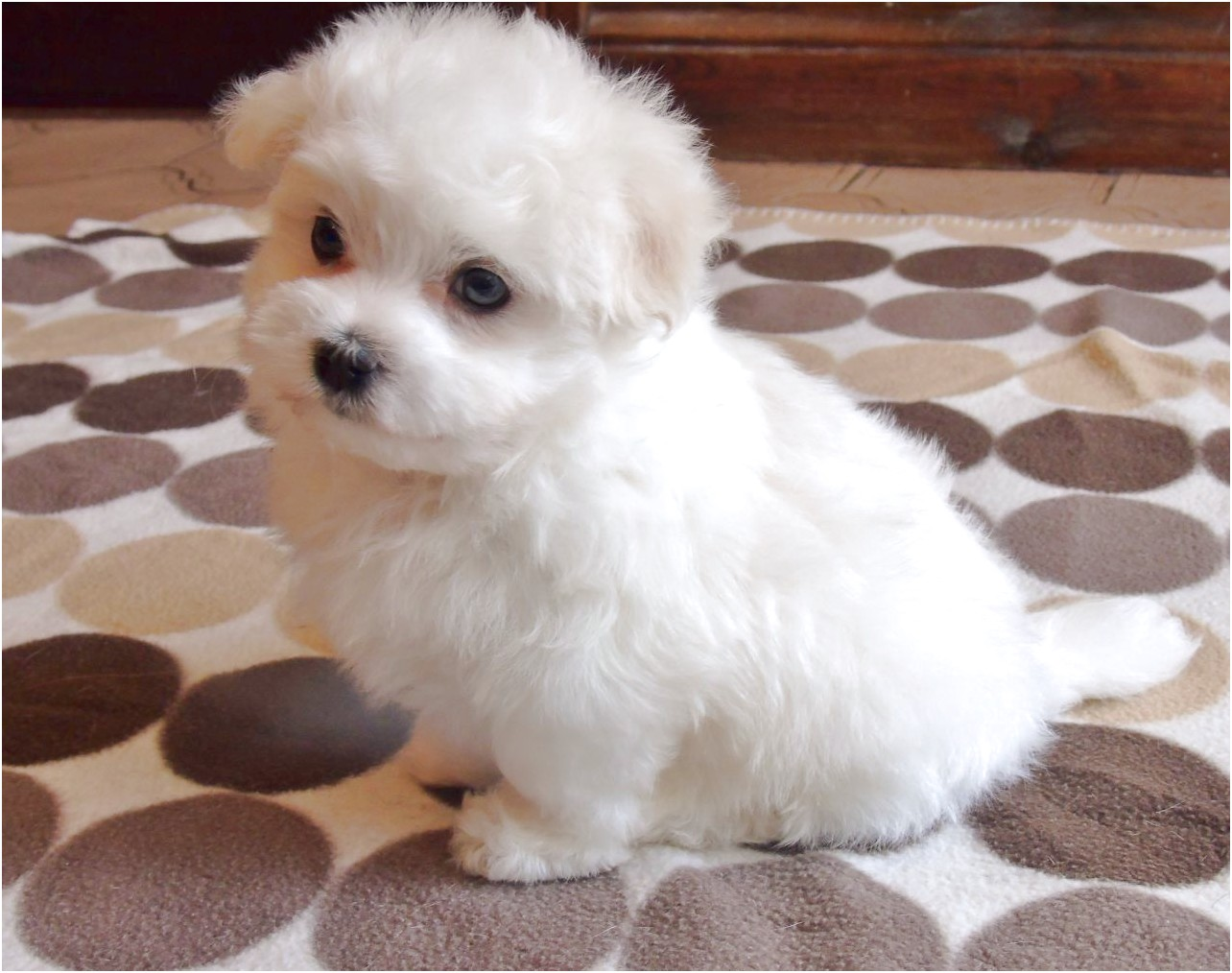 maltese pups for sale doncaster