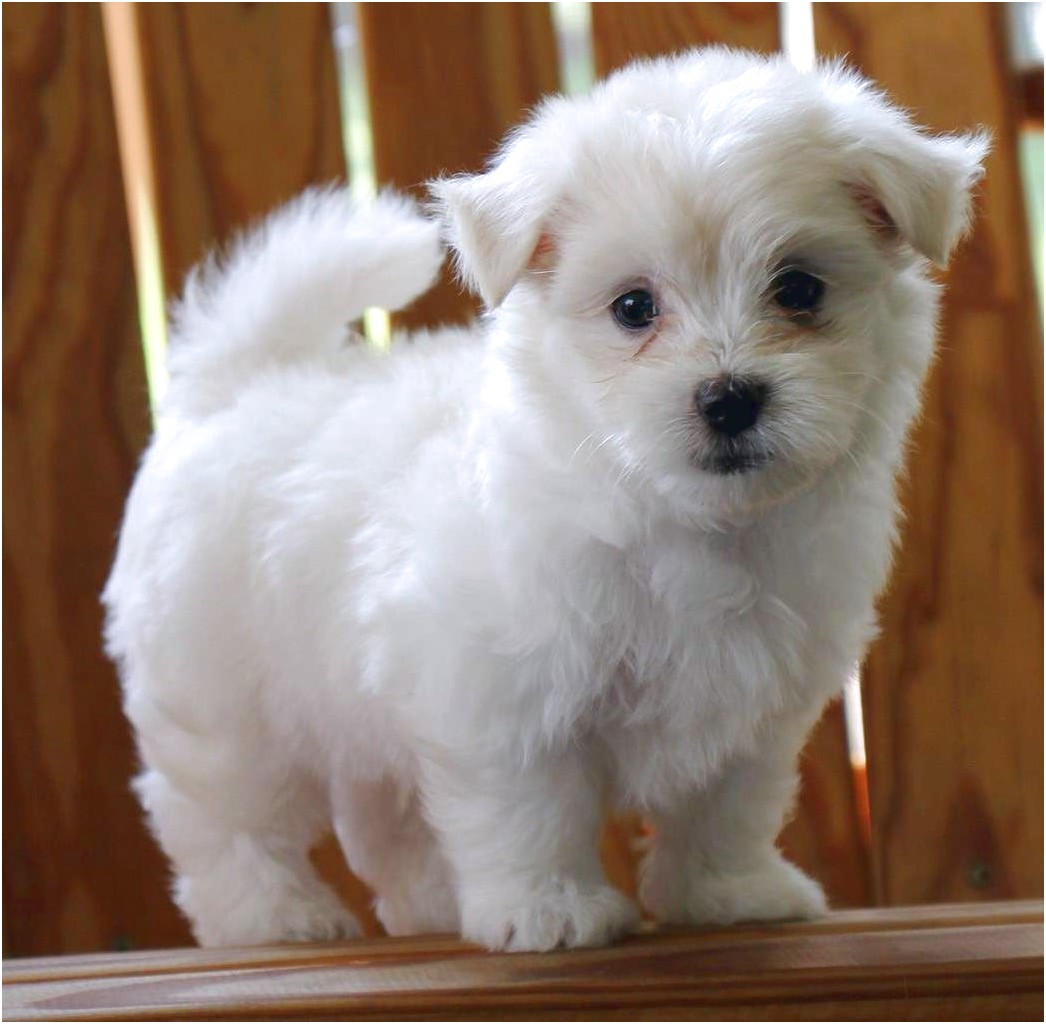 maltese pups for sale geelong