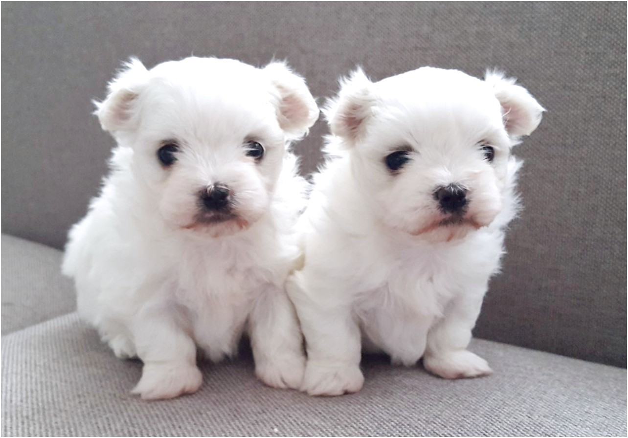 maltese pups for sale glasgow