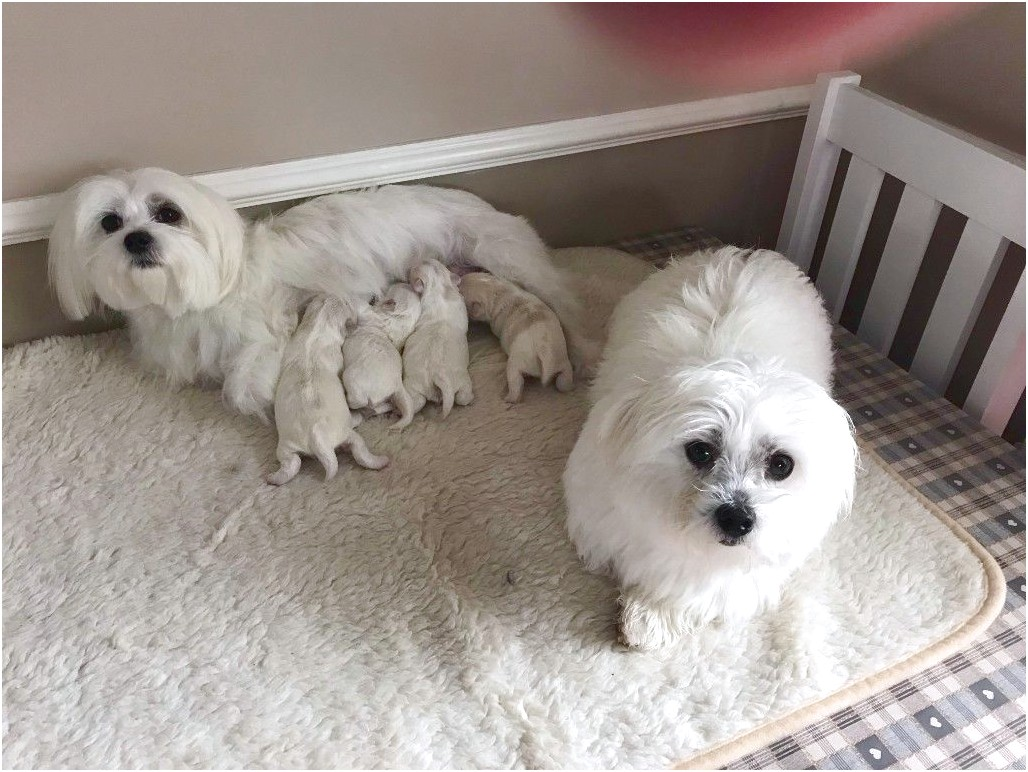 maltese pups for sale gumtree