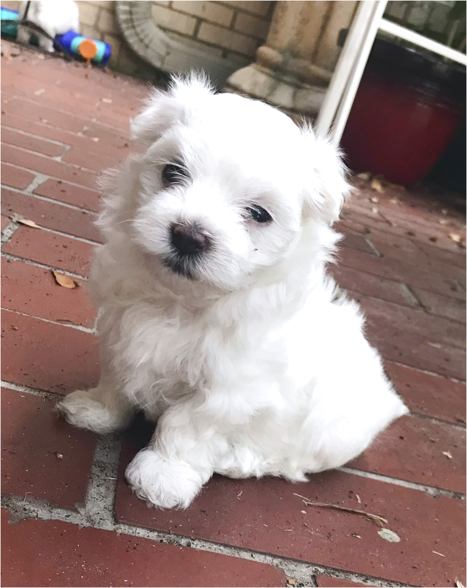 maltese pups for sale qld