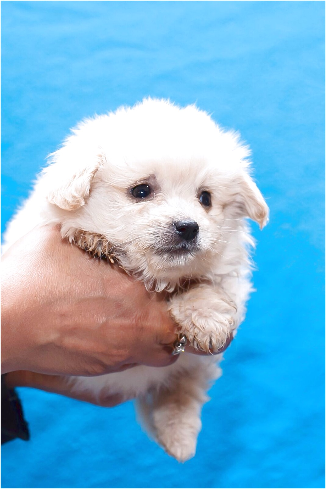 maltese pups for sale sydney nsw