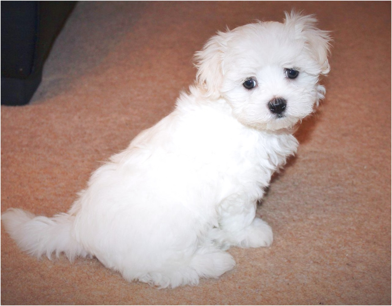 maltese pups for sale west midlands
