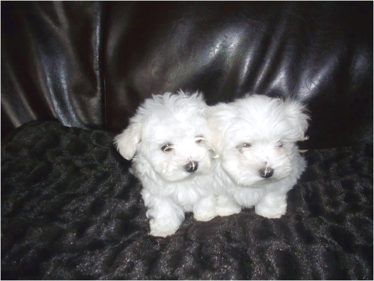 maltese terrier puppies for free