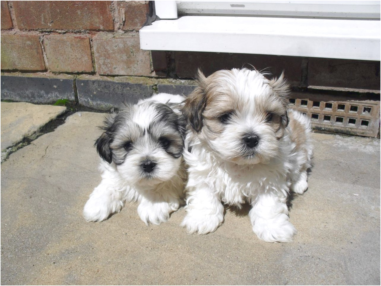 maltese x dogs for sale
