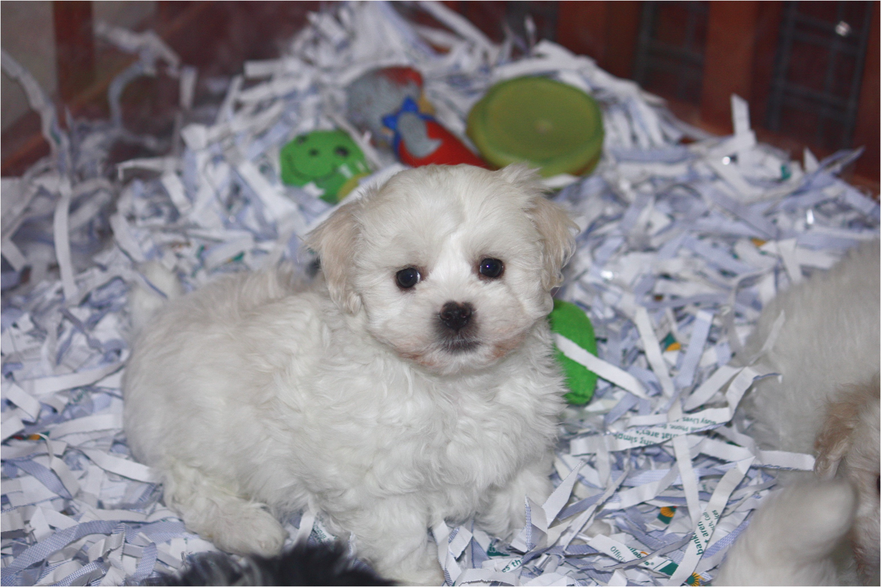maltese x puppies for sale perth