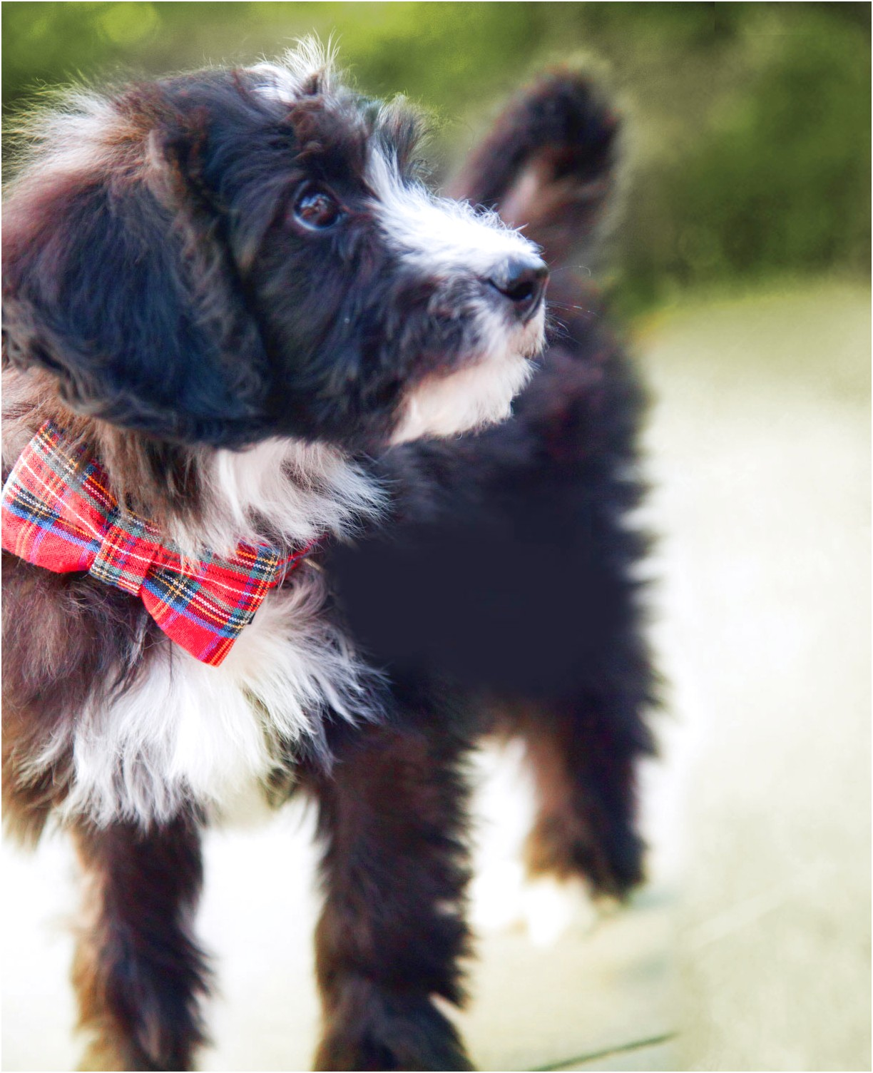 maltese x puppy for sale qld