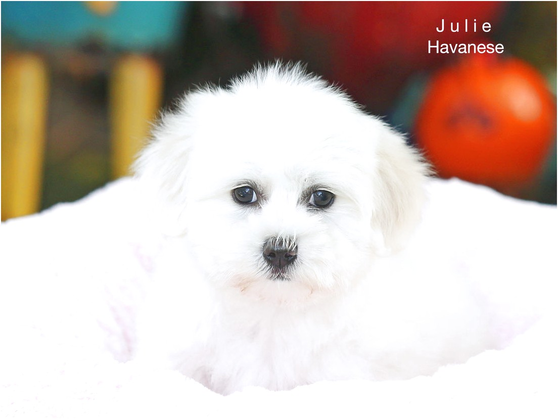 maltese x pups for sale adelaide