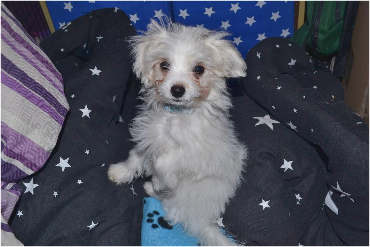 maltese x pups for sale